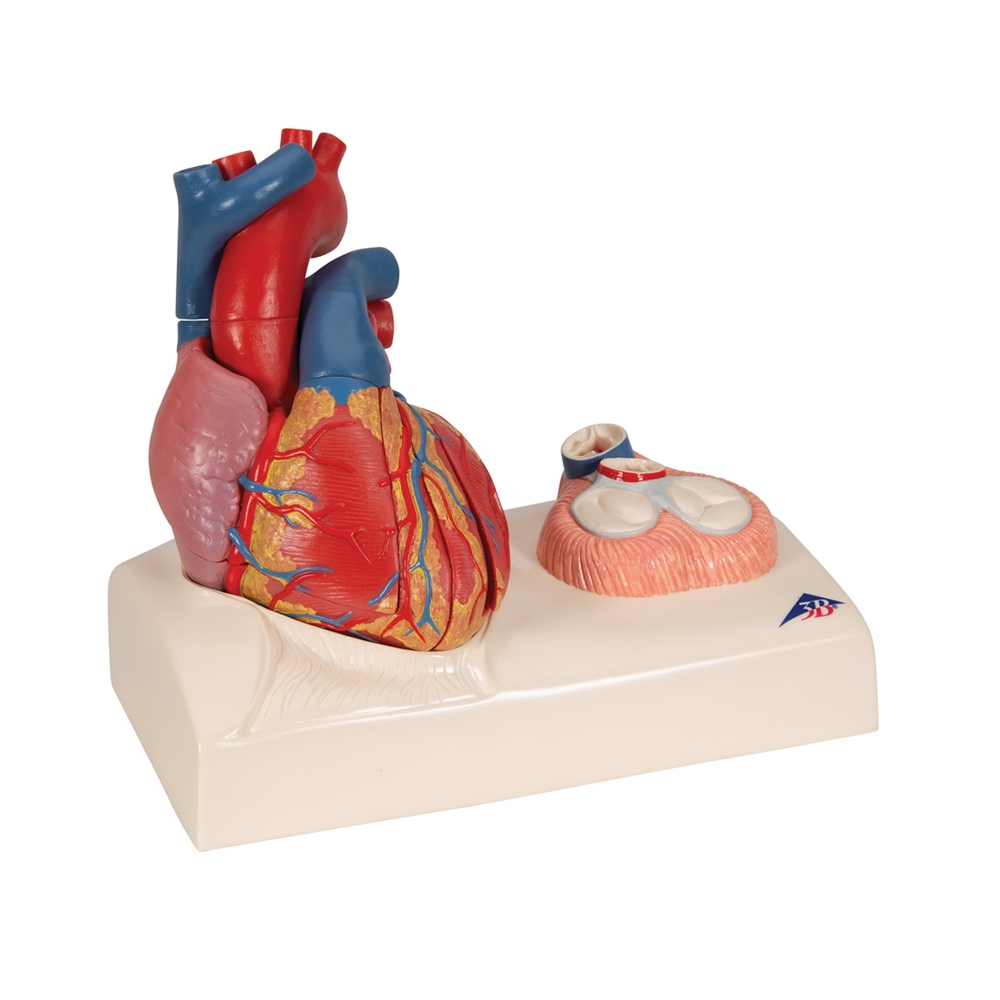 Life-size Magnetic Heart Model and Cardiac Valves, 5 Parts