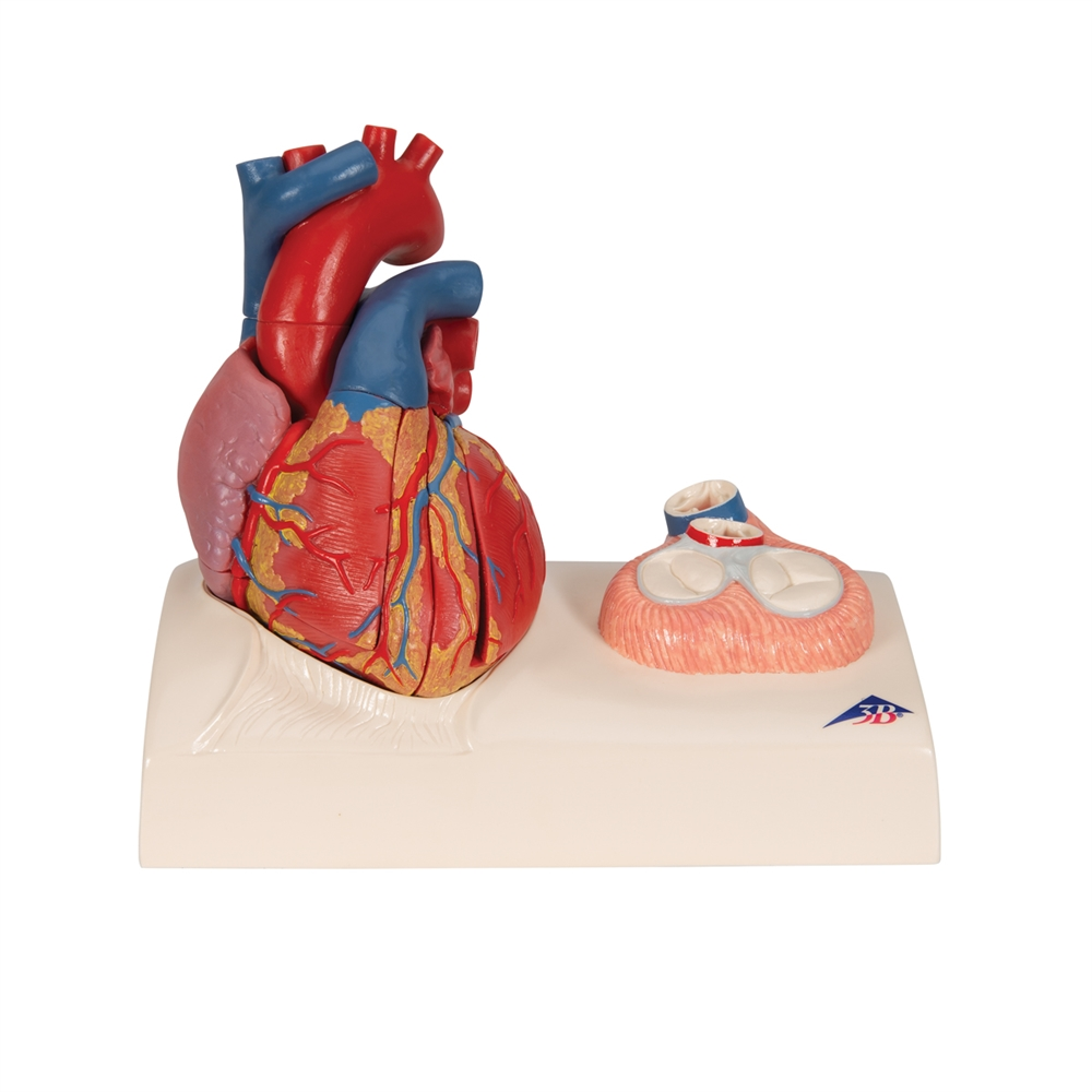 Life Size Magnetic Heart Model And Cardiac Valves 5 Parts