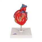 Classic Heart Model | Classic Heart Model with Bypass | Classic Anatomical Heart Model with Bypass | 3B Scientific Classic Heart with Bypass part number G05