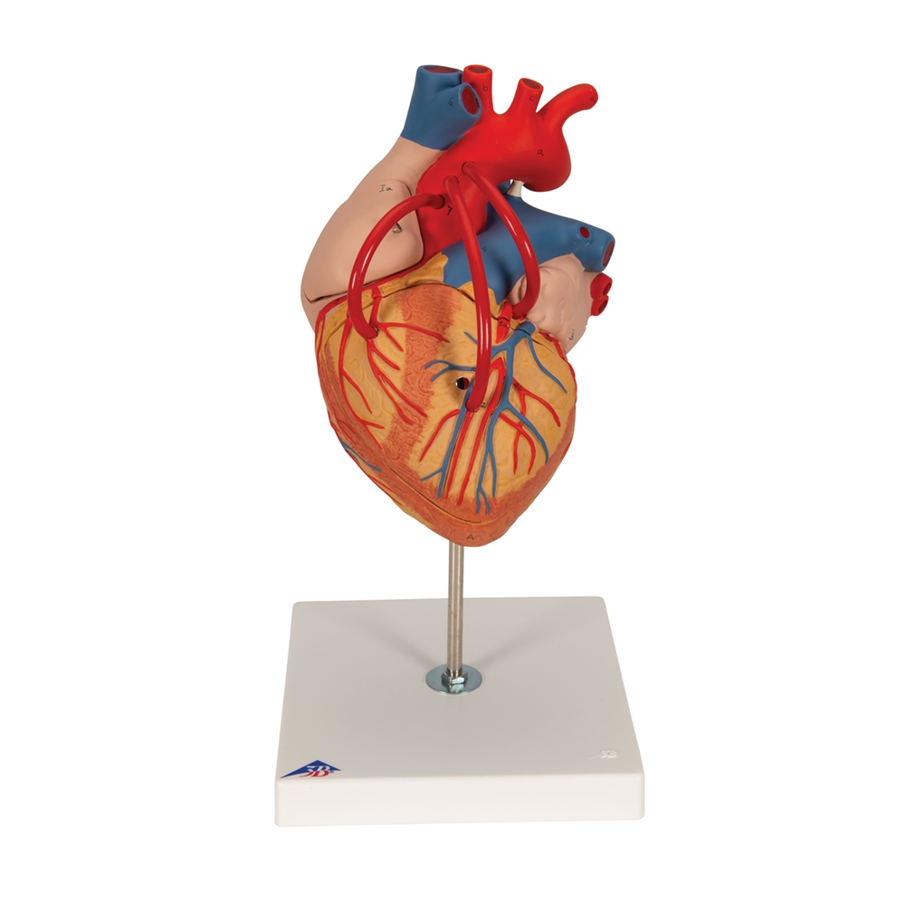 Human Heart Model with Venal Bypass, 2x life-size, 4 part