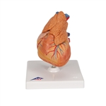 Classic Heart Model with Thymus, 3-part G08-1