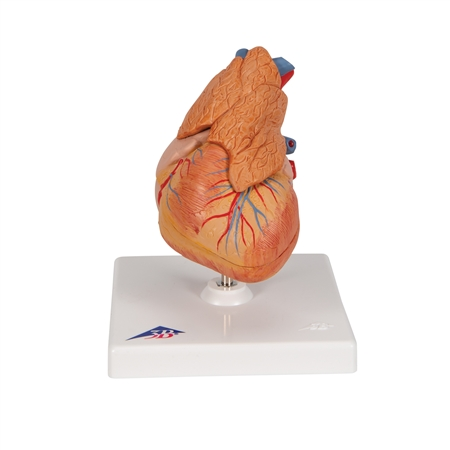 Classic Heart with Thymus, 3-part - G08-1