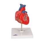 Classic Heart Model | Classic Heart Model, 2-part | 3B Scientific Classic Heart Model part number G08