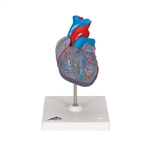 Classic Heart Model | Classic Heart with Conducting System | Classic Heart with Conducting System, 2 part | Classic Heart Model with Conducting System | Heart Model with Conducting System | Buy Classic Heart Model with Conducting System, 2-part G08-3