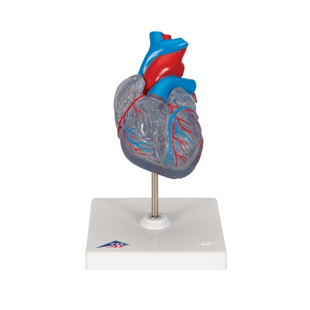 Classic Heart with Conducting System, 2 part - G08-3