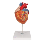 3B Scientific Giant Heart Model, 2-times life-size, 4-part G12