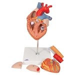 Heart Model with Esophagus | Heart Model with Trachea Heart Model with Esophagus and Trachea | Heart with Esophagus and Trachea, 2 times life size, 5 part | Giant Heart Model with Esophagus and Trachea, 2 times life-size, 5-part | Buy Heart Model G13