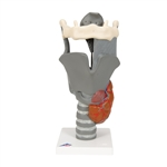 Deluxe Functional Larynx Model, 2.5 times full-size G20