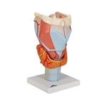 Anatomical Larynx Model, 2 times full-size, 7-part G21