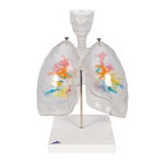 CT bronchial tree with larynx and transparent lungs model G23-1