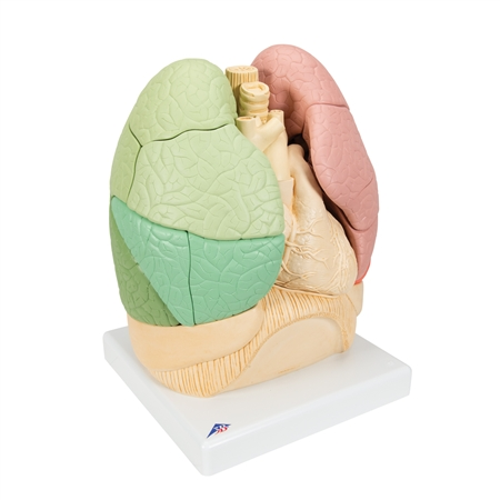 Segmented Lung Model with Magnets - G70