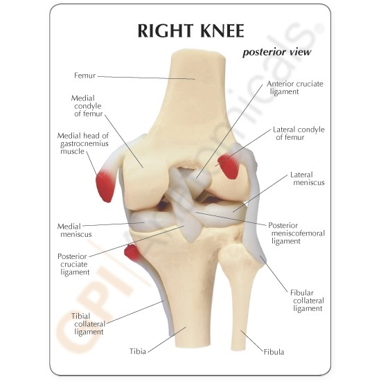 Basic knee joint model ccuart Image collections