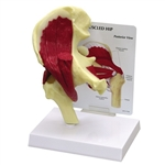 Hip Joint Model With Muscles GP1310