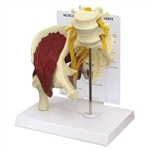 Muscled Hip Joint With Sciatic Nerve | Hip Joint with Muscles and Sciatic Nerve GP1311