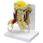 Deluxe Muscled Cervical Spinal Model - GP1720