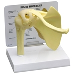 Basic Shoulder Joint Model - GP1790
