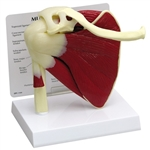Shoulder Joint Model With Muscles - GP1810