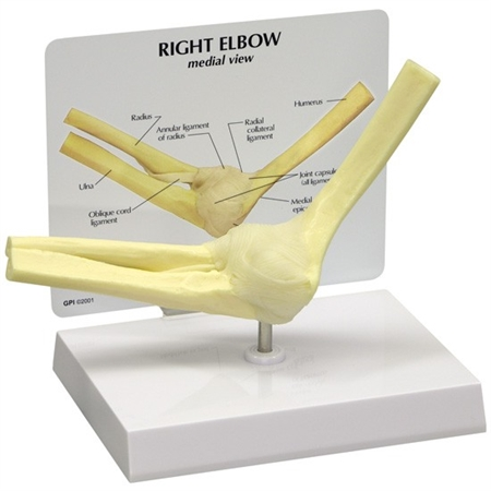 Basic Elbow Joint Model - GP1830