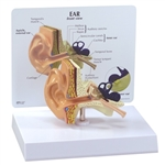 GPI Ear Model with Educational Key Card GP2250