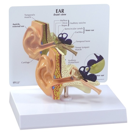 Ear Model with Educational Key Card - GP2250