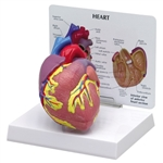 Anatomical Heart Model, 2-part - GP2500