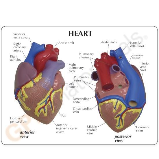 Anatomical Heart Model, 2-part GP2500
