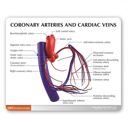 Coronary Arteries And Cardiac Veins Model