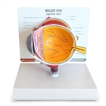 Anatomical Eye Model - GP2750