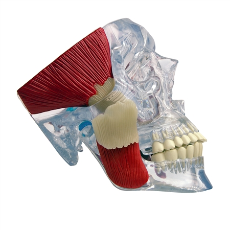 TMJ Skull Model | TMJ Clear Skull Model with Muscles GP-2880