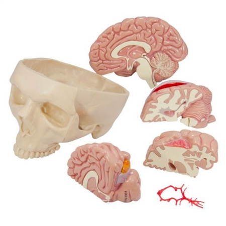 Brain Model and Partial Skull - GP2900