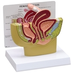 female pelvis cross section model