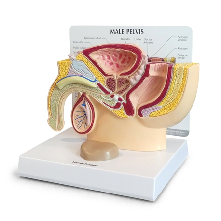 Male Pelvis Cross Section Model - with separate prostate GP3550