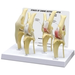 Canine 4-Stage Osteoarthritis Knee Model GP9051