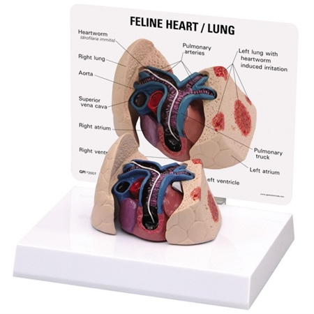 Feline Heart and Lung Model GP9141