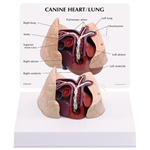 Canine Heart and Lung Model