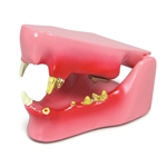 Feline Jaw Model - On Sale! - GPI Veterinary Model GP9190