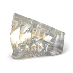 Clear Feline Jaw Model - GPI Veterinary Model GP9191