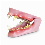 Canine Jaw Model - GPI Veterinary Model
