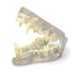 Canine Jaw Model - Clear Material Showing Teeth - GPI Veterinary Models GP9196