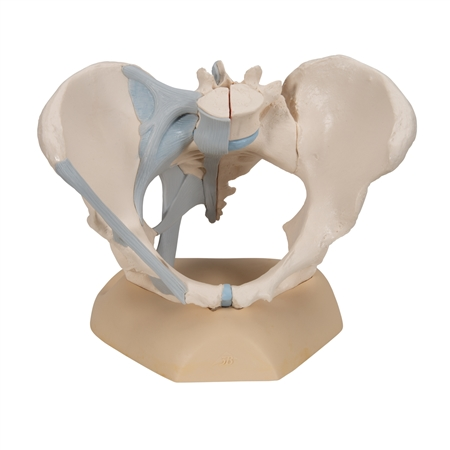 3B Scientific Female Pelvis with Ligaments, 3 part | 3B Scientific H20-2