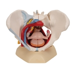 Female Pelvis Model with Ligaments, Vessels, Nerves, Pelvic Floor and Organs, 6 part