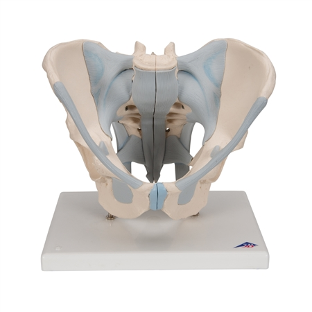Male Pelvis Model with ligaments