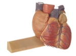 SOMSO Heart  Model - 3/4 Natural Size - HS2-1