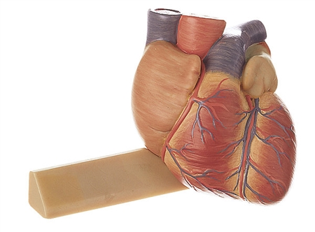 SOMSO Heart  Model - 3/4 Natural Size Model On Sale