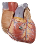 SOMSO Heart  Model - 2 parts - 3/4 Natural Size - HS2