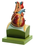 SOMSO Heart on Diaphragm Base - HS22