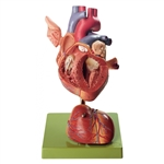 SOMSO Heart - Approximately twice natural size