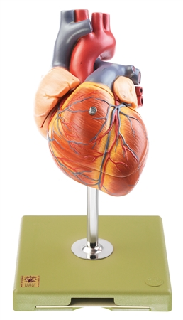 SOMSO Heart with Conducting System