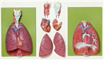 SOMSO Lungs | SOMSO Lungs with Heart | SOMSO Lungs with Heart, Diaphragm and Larynx | SOMSO Lungs with Heart, Diaphragm and Larynx HS-7 | SOMSO HS-7