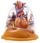 SOMSO Heart-Lung Table Model